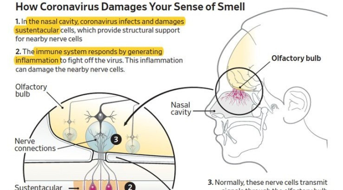 INFOGRAPHIC: 'HOW COVID-19 DAMAGES SENSE OF SMELL'